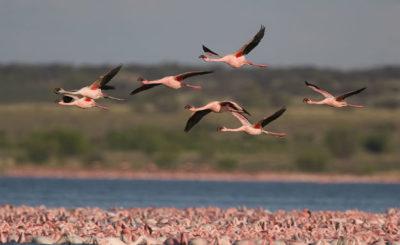 uccelli migratori