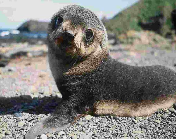 ♥♥♥La foca monaca è tornata a Capraia♥♥♥