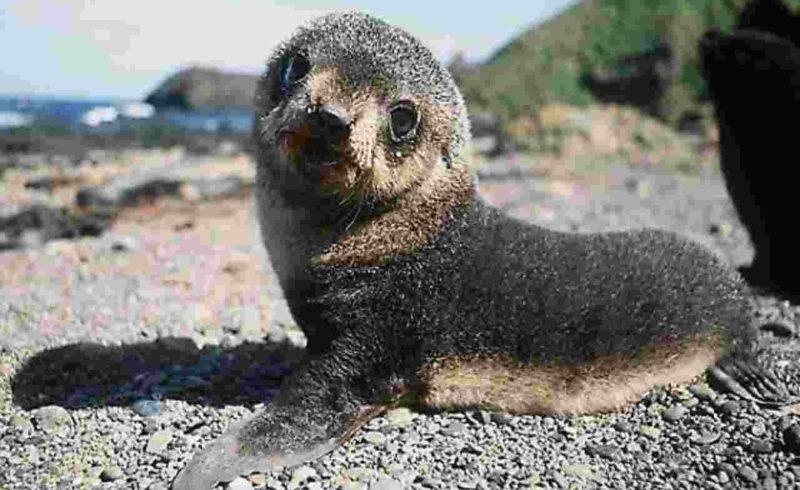 La foca monaca torna a Capraia
